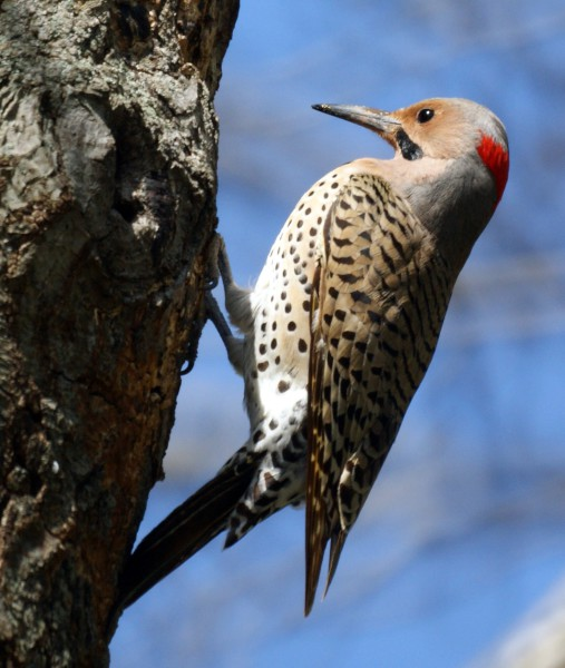 image Northern Flicker Woodpecker - Credit: Mike's Birds
